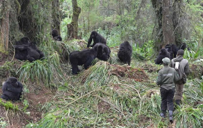 Mountain gorillas at Virunga Massif