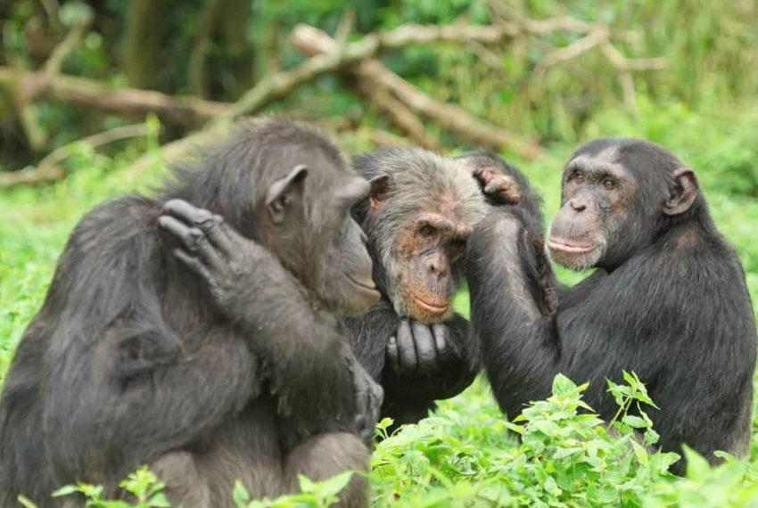 Chimpanzees at Ngamba Island