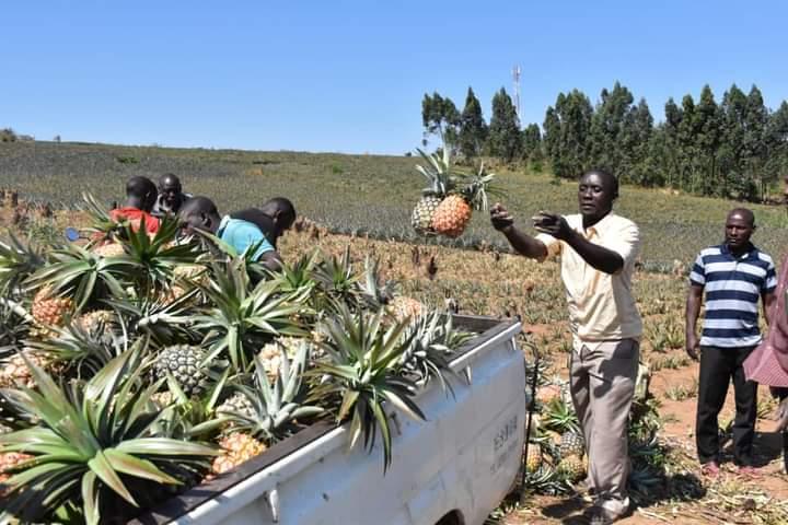 Moses Sebugwawo at his pineapple garden