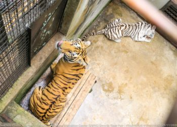 Tigers at Entebbe Zoo
