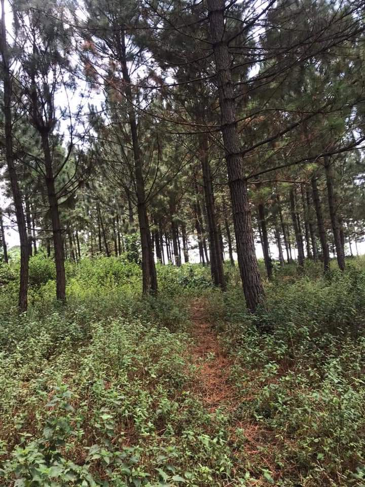 Pine trees near Kampala