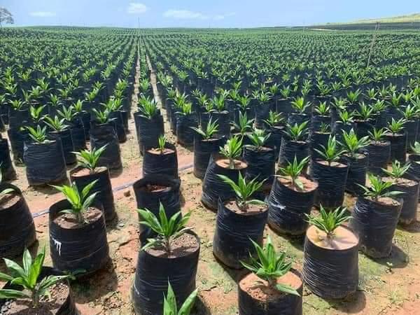 A nursery of oil palm trees