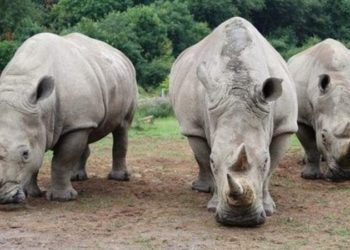 Rhinos at Ziwa Sanctuary
