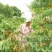 Businessman Gonzaga Mayanja in his coffee plantation